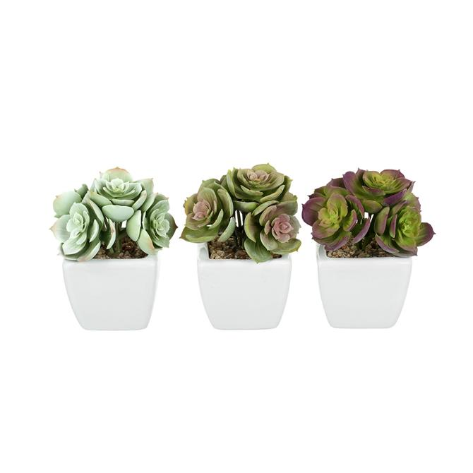 Parlane Echeveria Potted Assorted